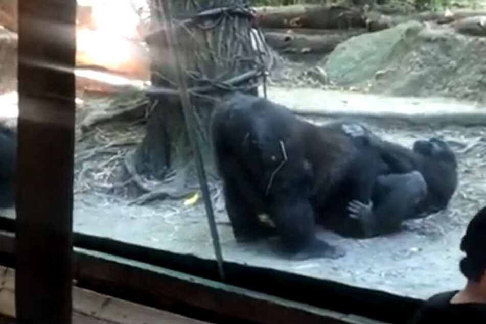 Gorillas haben vor Zoogästen Oralsex!