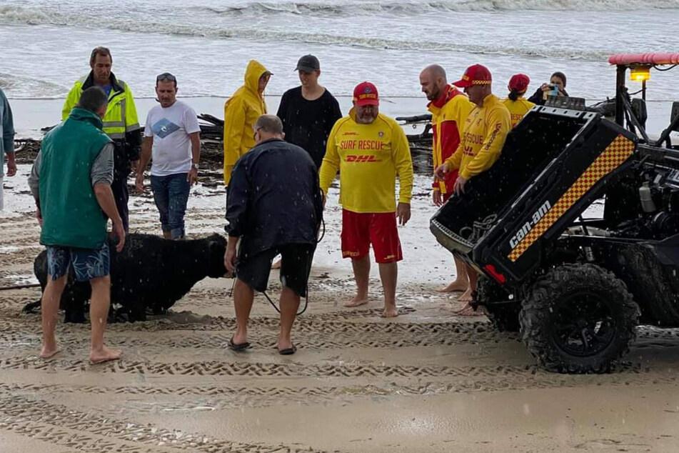 El animal débil fue rescatado por voluntarios.