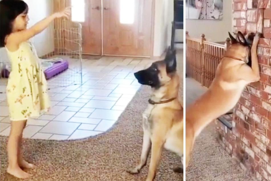 Schäferhund spielt mit Kind Verstecken