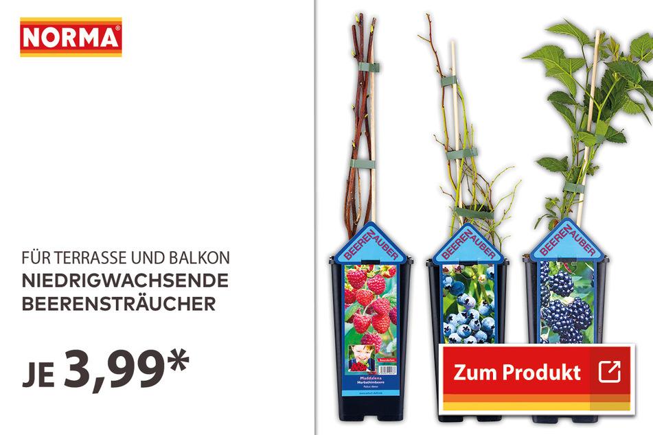Niedrigwachsende Beerensträucher für 3,99 Euro