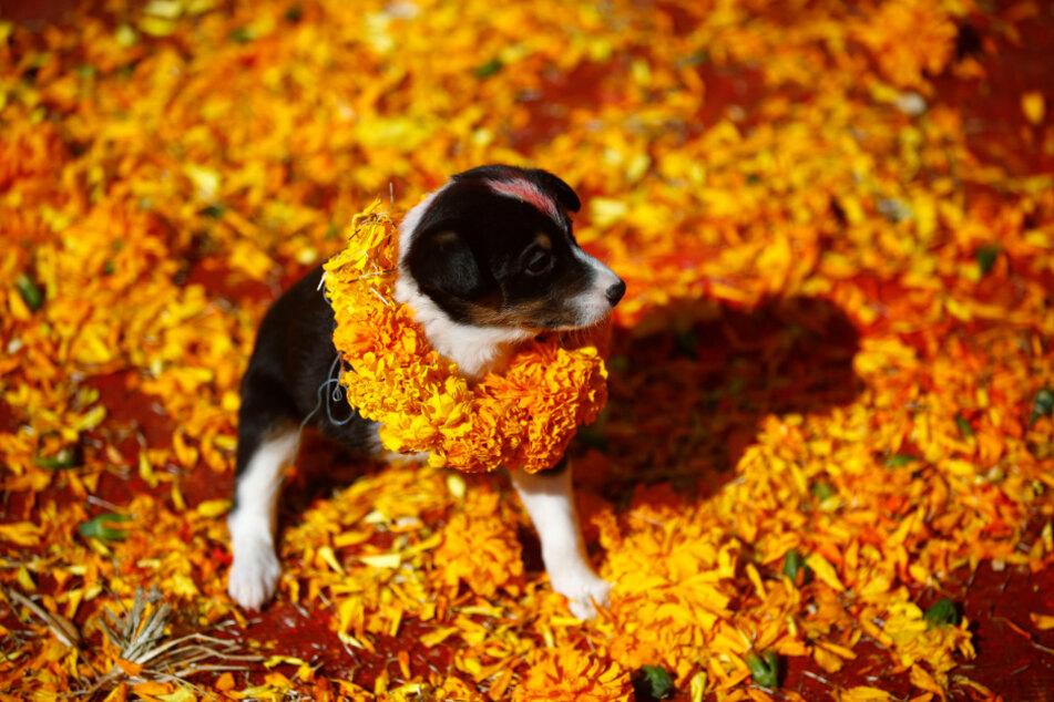 Lalitpur: Ein geretteter Hund mit einer Ringelblumengirlande und rotem Tika auf der Stirn.