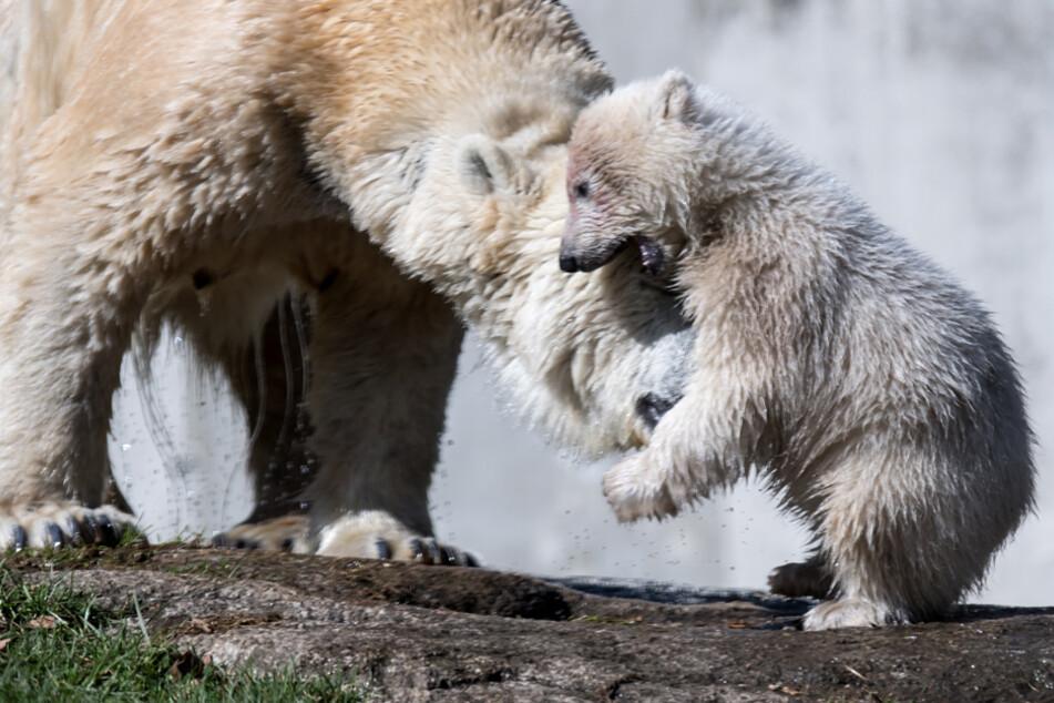 Das damals vier Monate alte Eisbärenmädchen Quintana (r) und seine Mutter Giovanna im März 2017. (Archiv)