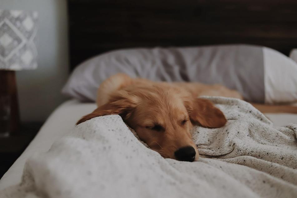Viele Halter lassen ihren Hund auch im eigenen Bett schlafen, wenn er dieses nicht zu seinem eigenen Revier macht und bestimmt, wer darin schlafen darf.