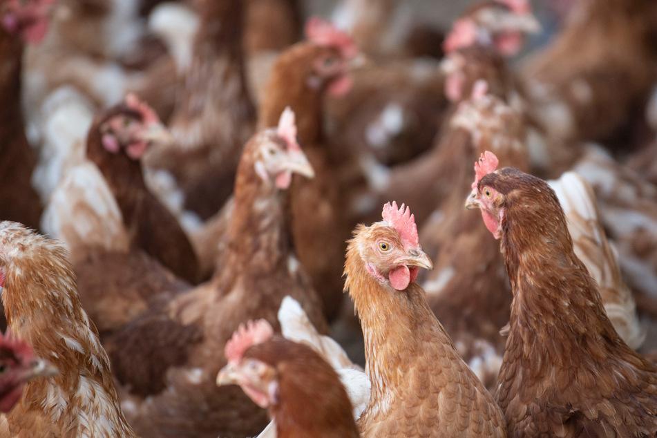 Vogelgrippe-Ausbruch: Zehntausende Hühner müssen nun sterben