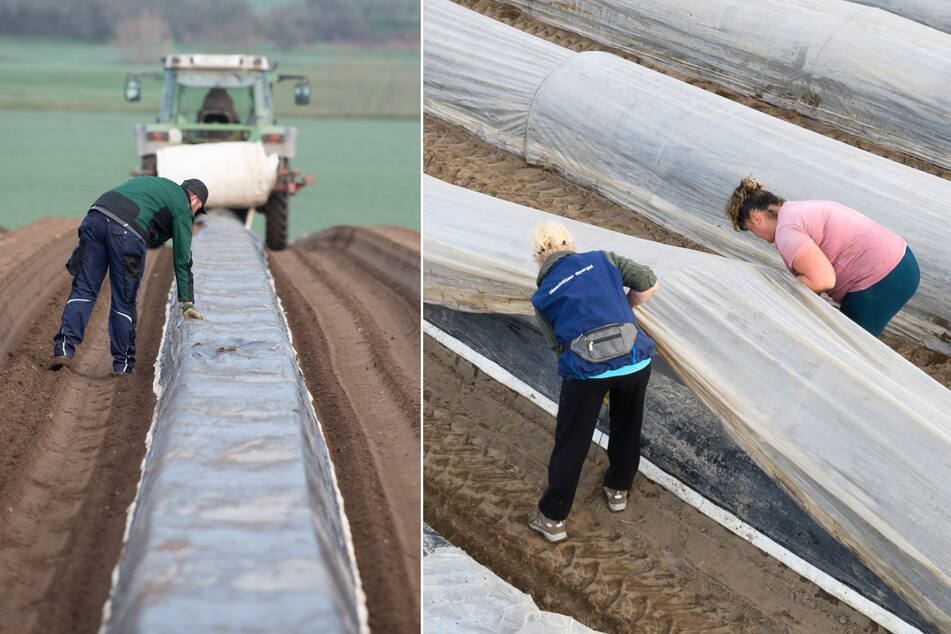 Dresden: Sachsens Spargelbauern stehen in den Startlöchern