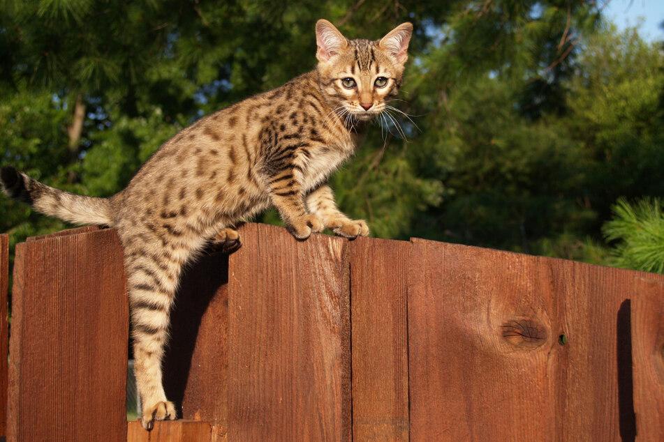 Die edle Savannah-Katze ist eine echte Rarität. Doch für die Samtpfote, die eine Lebenserwartung von 17 Jahren hat, musst Du tief in die Tasche greifen.