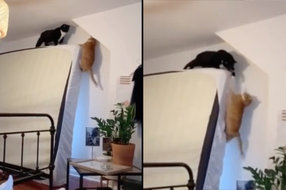 """Long live the king"": cats re-enact famous Lion King scene in viral TikTok video"