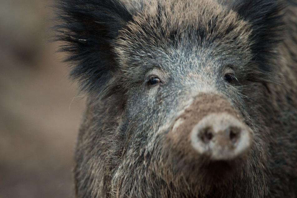An einem weiteren Wildschwein in Sachsen wurde die Afrikanische Schweinepest nachgewiesen, diesmal im Landkreis Meißen.