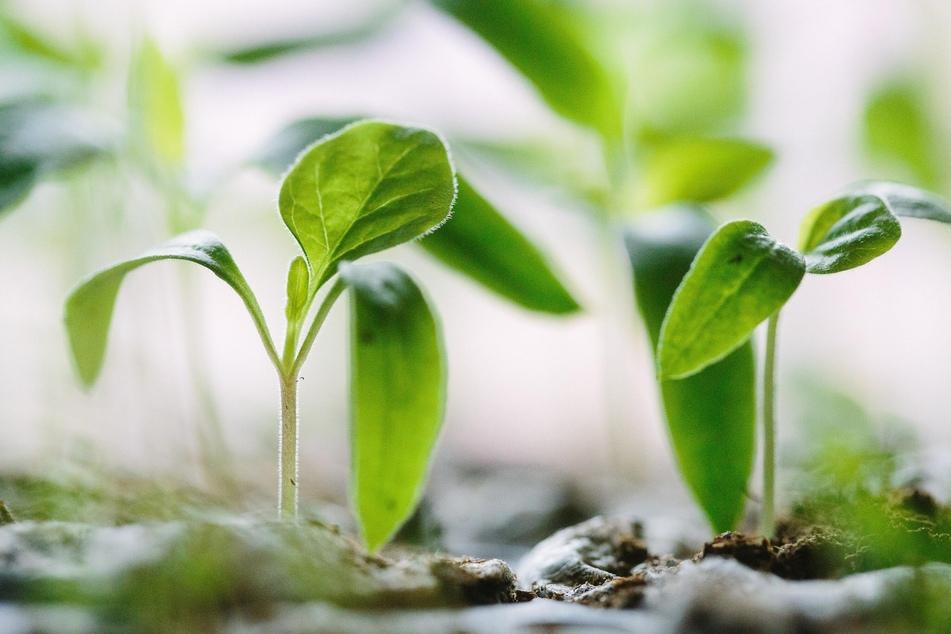Viele Gemüsepflanzen lassen sich leicht in der Wohnung vorziehen.