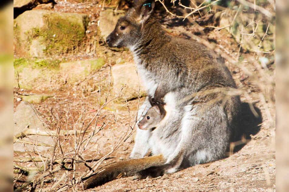 Mama Känguru und ihr Nachwuchs beobachten ihre Umgebung. Das Kleine ist eins von fünf Känguru-Jungen im Leipziger Zoo.