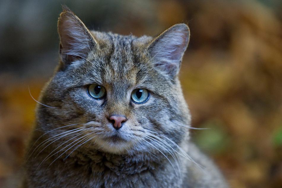 Die Europäische Wildkatze (Felis silvestris) ist heute wieder in vielen Regionen Europas beheimatet.