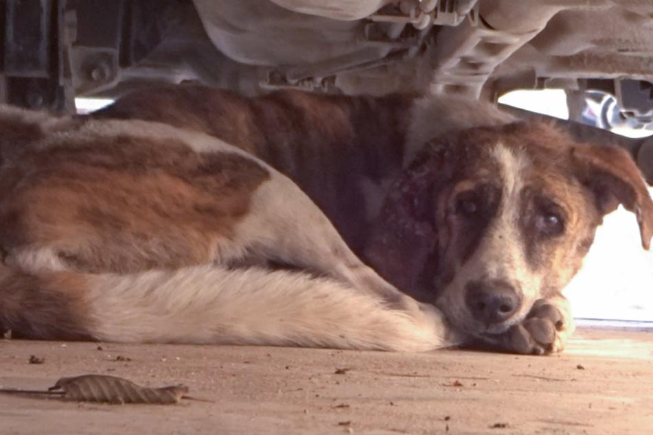 Hund kauert verängstigt unter Auto: Dann entdecken seine Retter den traurigen Grund