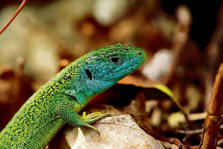Auch solche Smaragdeidechsen werden auf Reptilienbörsen angeboten. Peta fordert jetzt ein Verbot - unter anderem wegen Infektionsgefahr.