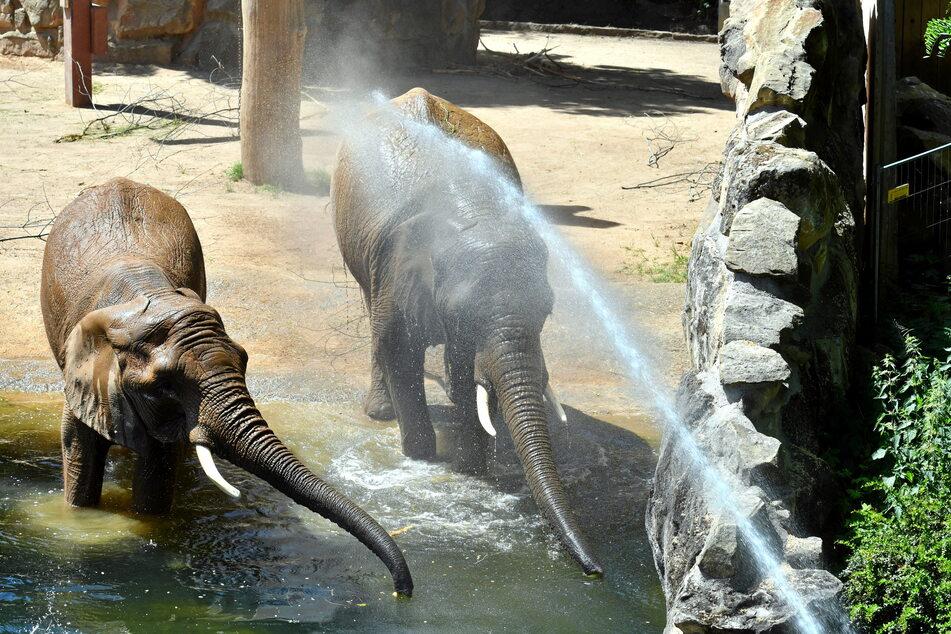 Die Elefantendamen erfreuen sich an der kalten Dusche.