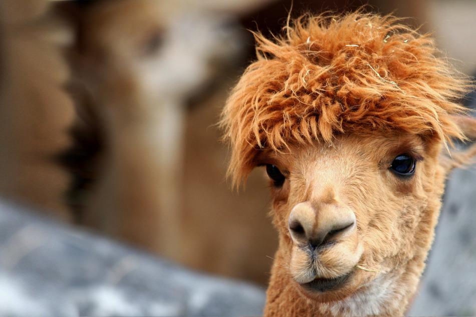 Llama to solve Covid drama? Antibodies produced by llamas could be basis for new treatment