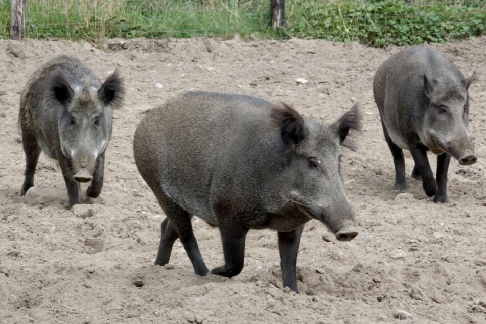 Kein weiterer positiver Schweinepest-Befund in Brandenburg