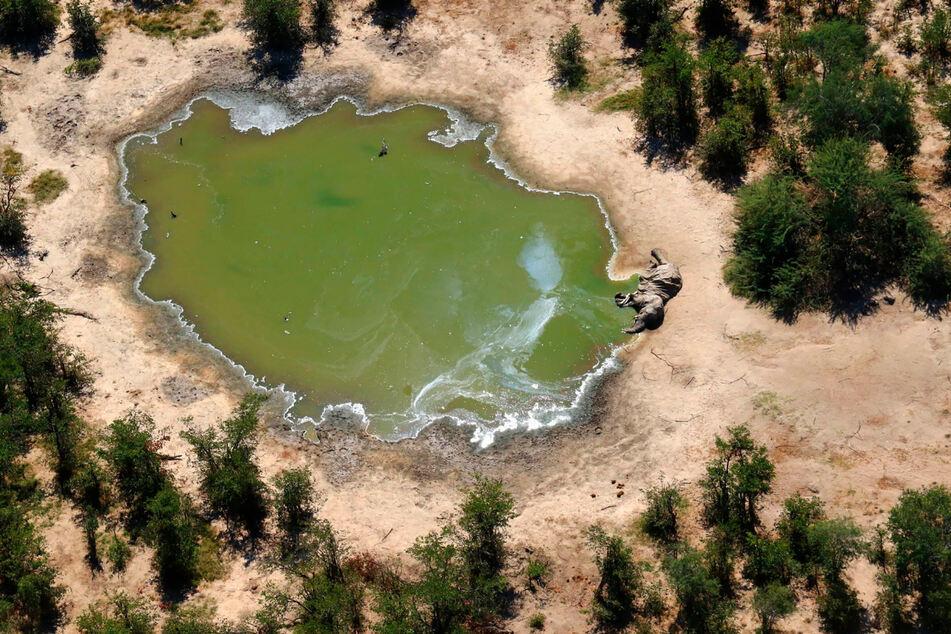 Ein toter Elefant liegt an einer Wasserstelle. Erst vergangenes Jahr blickte die Welt auf das Okavango-Delta, nun kommt die nächste schlechte Neuigkeit aus der Region.