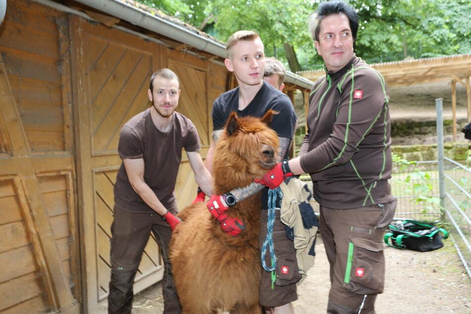 Die Alpakas im Tiergarten Halberstadt bekommen ihre Sommerfrisur.