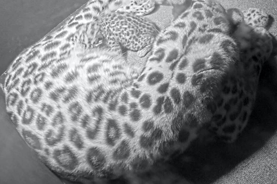 Die Geburt des Leopardenbabys am 3. September im Leipziger Zoo gilt als absoluter Zuchterfolg.