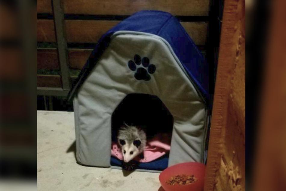 Anstelle einer Katze erwartete Michelle Slater ein Opossum.