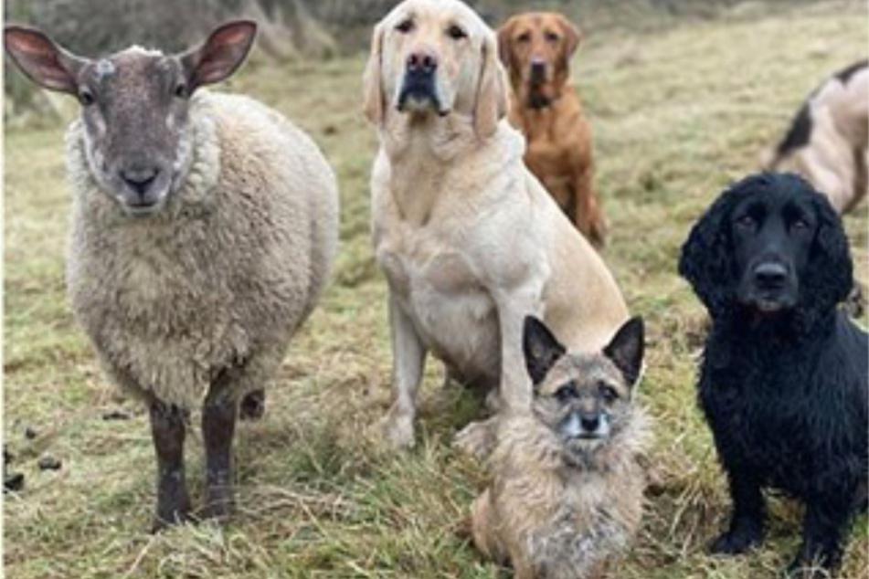 Chopsy fühlt sich in der Gesellschaft der Hunde pudelwohl.