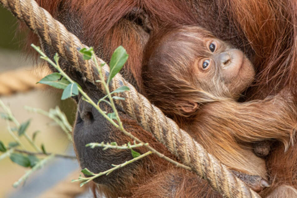 Süßes Orang-Utan-Baby geboren! Tierpfleger übersahen Schwangerschaft