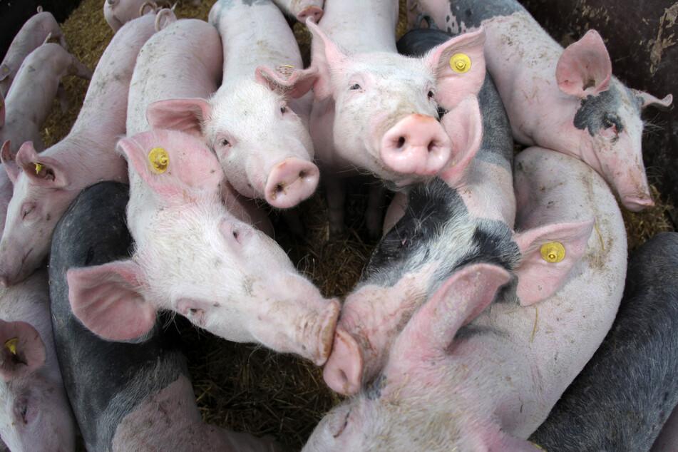 Jetzt doch? Schweinehalter freuen sich über Billigfleisch bei Aldi und Lidl