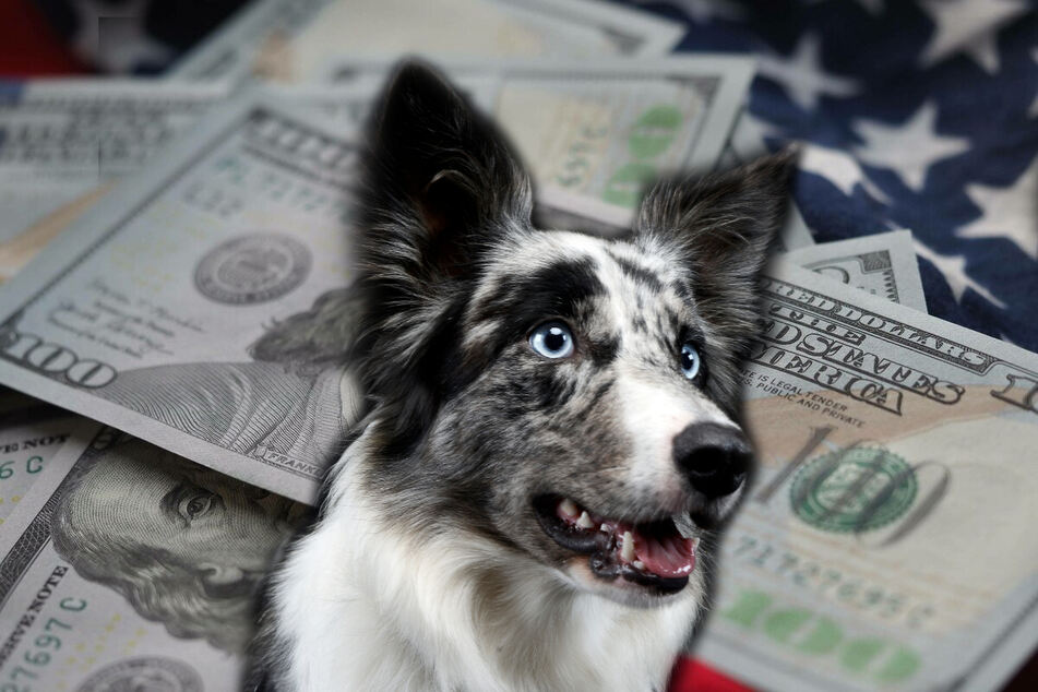 Lulu the border collie is now a millionaire mutt (stock image).