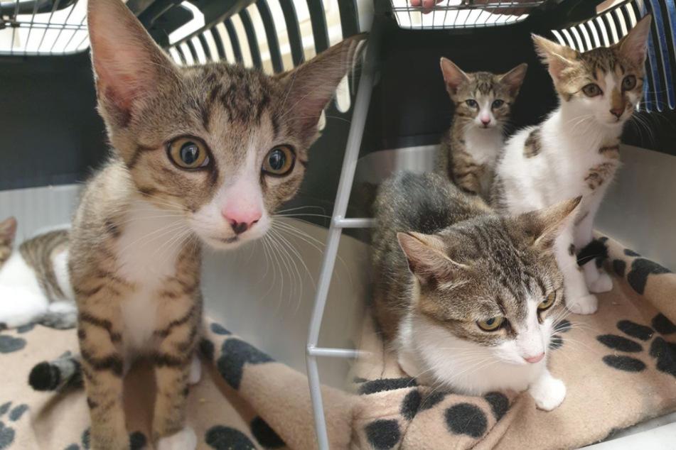 Diese Katzen haben auffällig große Ohren - woran das nur liegt? (Bildmontage)