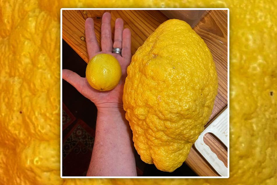 Kaum zu glauben, wie riesig diese Zitrone ist!