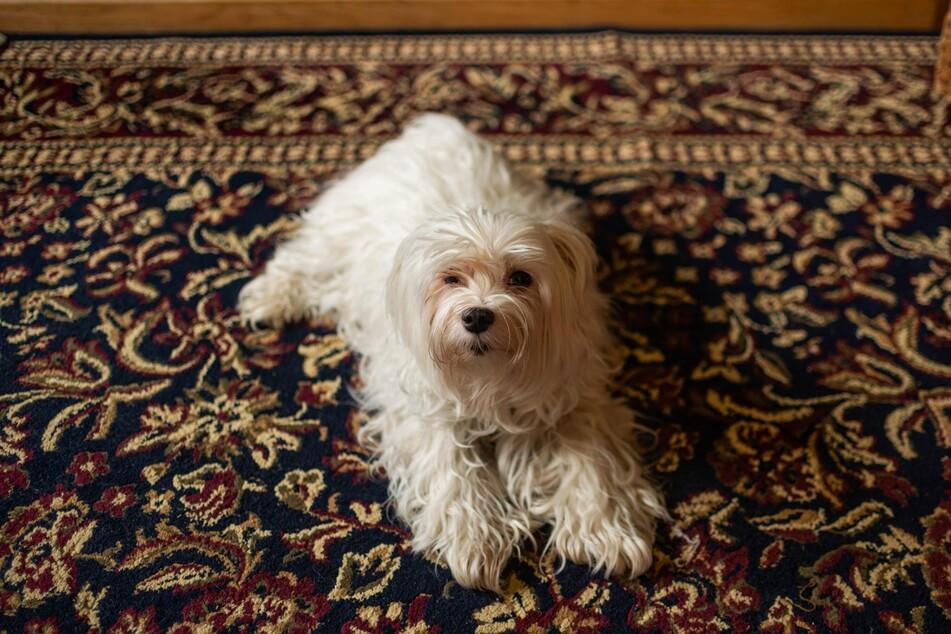 Hundehaare hängen tief in den Fasern des Teppichs fest, doch lassen sich mit einfachen Tricks entfernen.