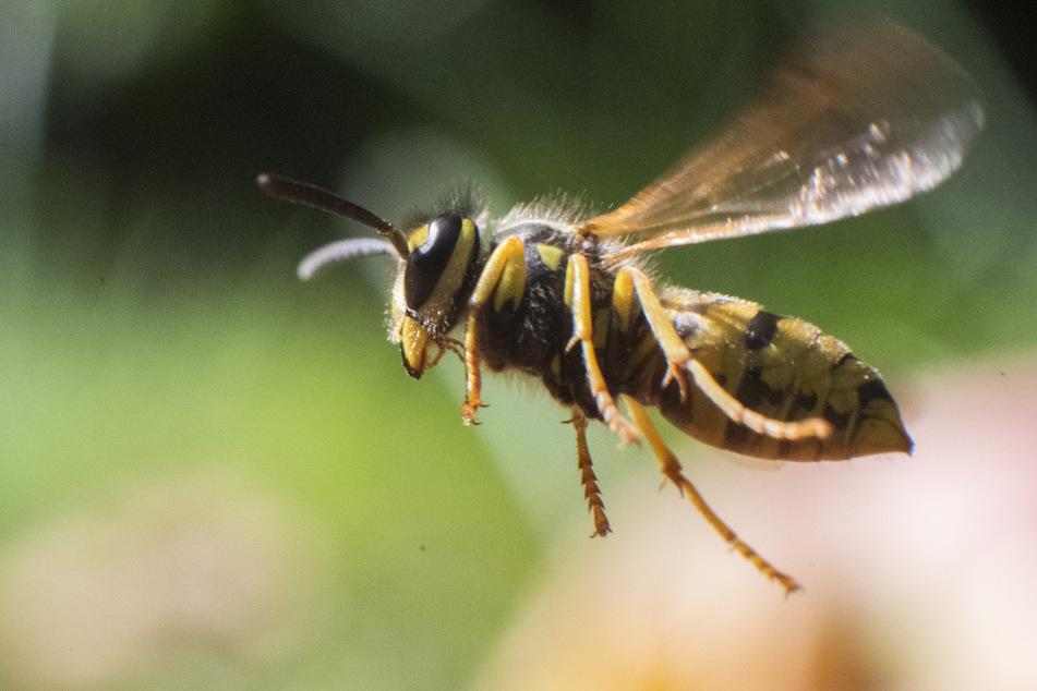 Im Sommer sind Wespen für viele Menschen ein Ärgernis.