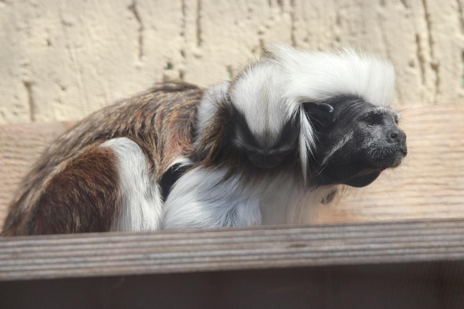 Im Chemnitzer Tierpark gibt es Nachwuchs bei den Lisztaffen. Hier hat es sich das Jungtier auf dem Rücken des Vaters bequem gemacht.