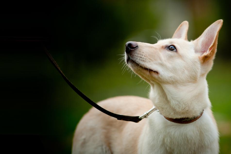 Bis 15. Juli: In Sachsen-Anhalt müssen Hunde ab Montag auch im Wald und auf Wiesen an die Leine