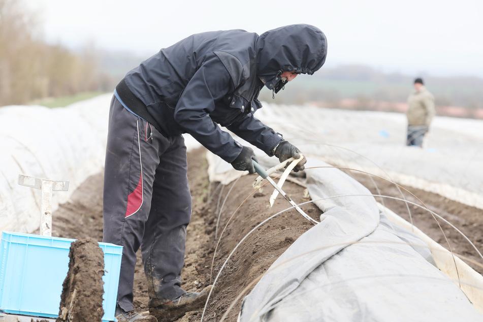 Mit dem Start der Ernte am Spargelhof Kutzleben (Unstrut-Hainich-Kreis) hat trotz derzeitiger Winterkälte in Thüringen die diesjährige Spargelsaison begonnen. Die Helfer kommen aus Osteuropa.