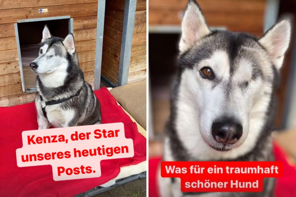"""Husky-Dame """"Kenza"""" war in keinem guten Zustand, als sie ins Tierheim nach Köln-Dellbrück kam."""