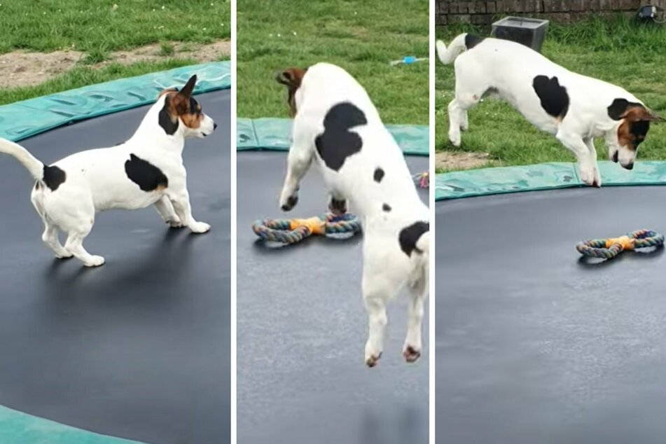 Jumping for joy: little dog discovers a trampoline and his life is changed forever!