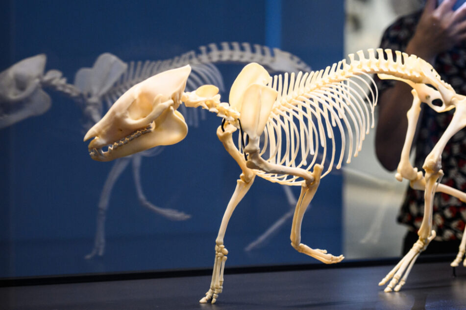 Frankfurt: Nicht größer als ein Dackel: So sahen Pferde vor mehreren Millionen Jahren aus
