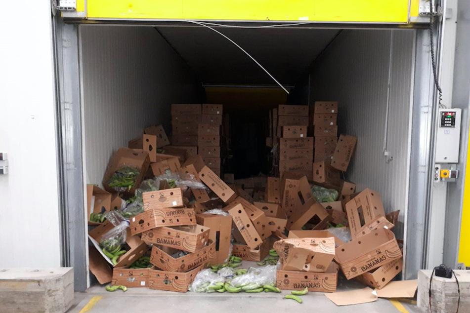 In einer Reifehalle liegen zahlreiche Kisten mit noch grünen Bananen. In den Kisten war rund eine halbe Tonne Kokain versteckt.