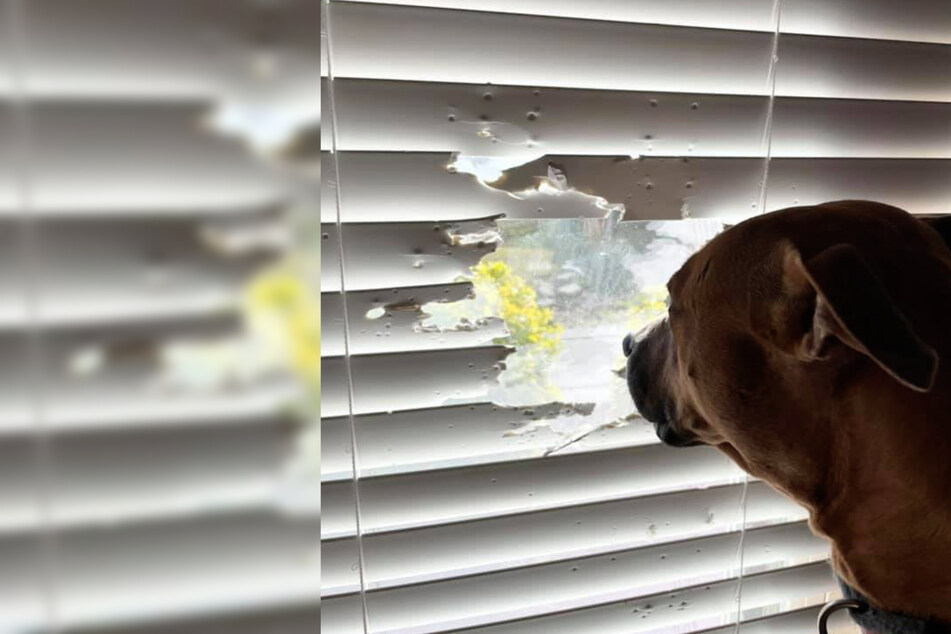Nothing will stop this dog from staring out the window!
