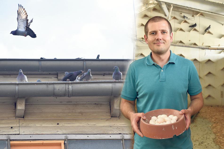 Geburtenkontrolle: Verein schiebt Tauben falsche Eier unter