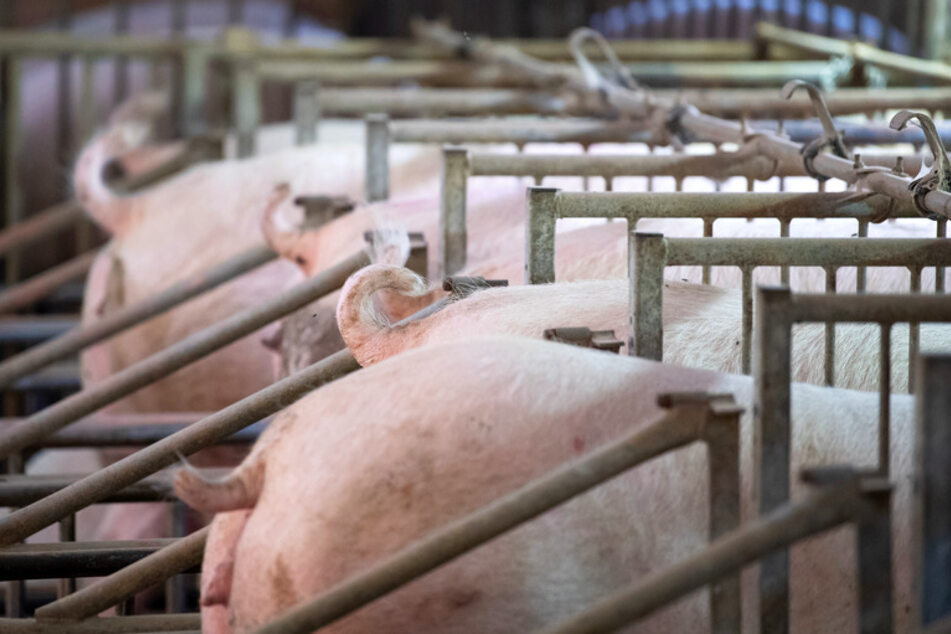 Nachfrage nach Rüssel und Ohren: Bauern fehlt chinesischer Schweinemarkt