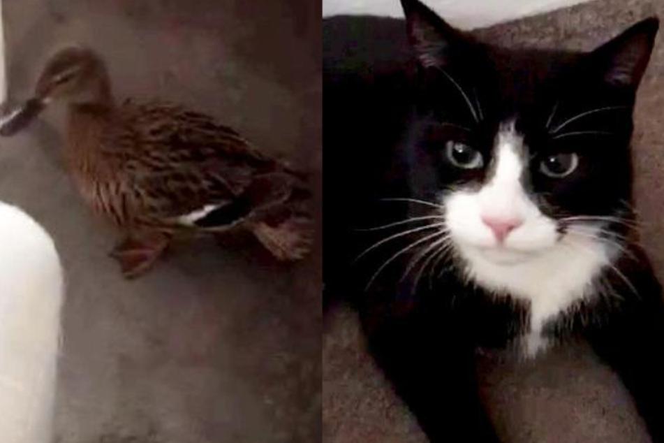 Katze Slippers hat von ihrem Freigang eine lebende Ente mitgebracht.