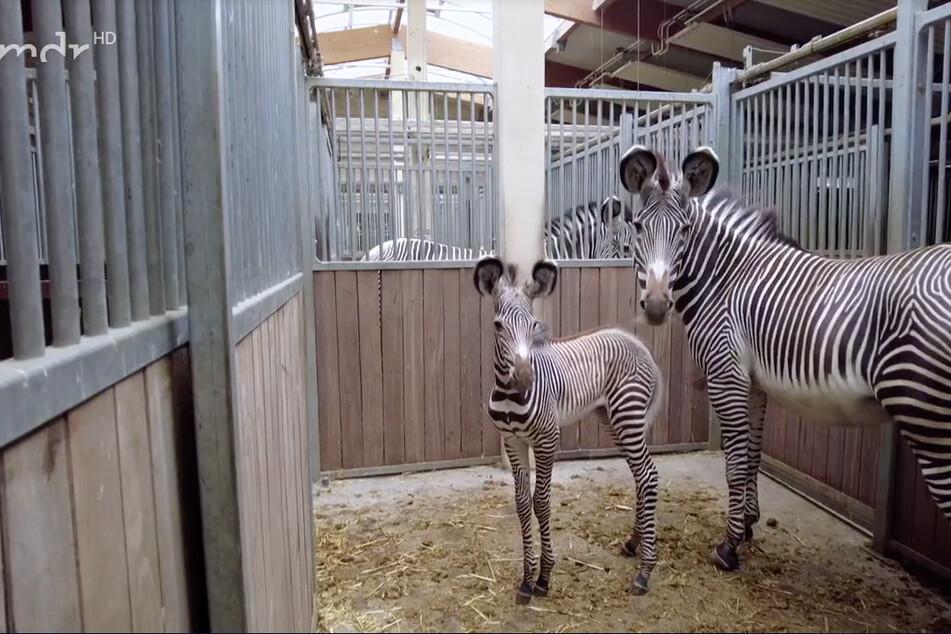 Petra ist mit drei Wochen der jüngste Bestandteil der Zebraherde, durfte jetzt erstmals mit auf die Savanne.