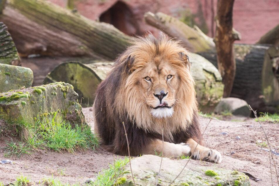 Ein Löwe liegt in seinem Gehege im Zoo. Deutsche Zoos haben nach Verbandsangaben seit Beginn der Pandemie Millionenverluste gemacht.