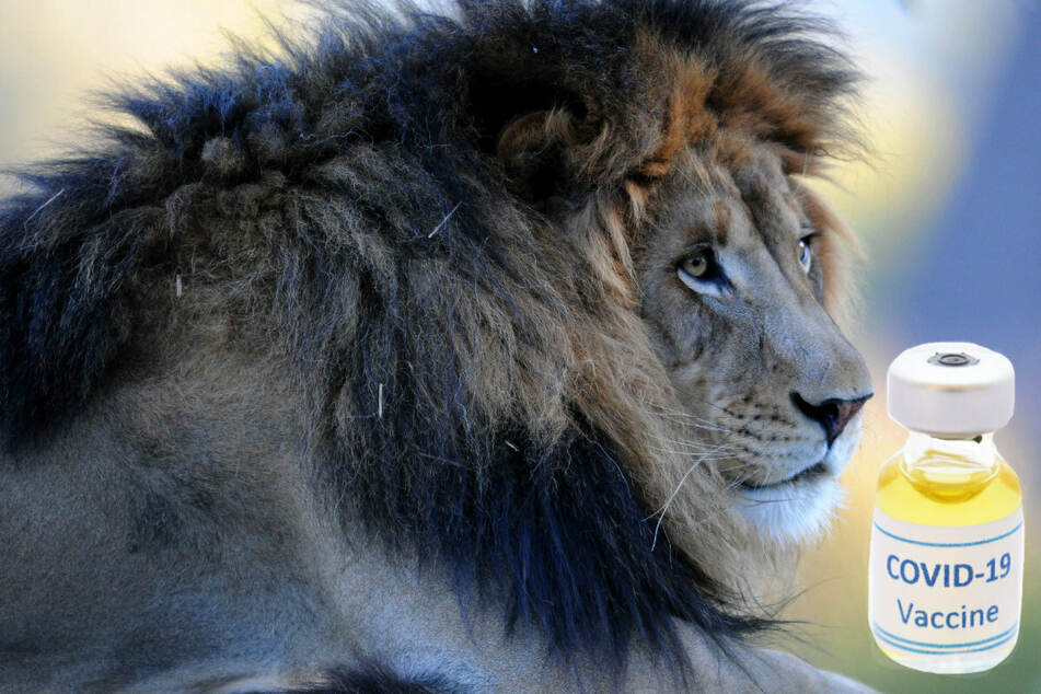 San Diego Zoo races to vaccinate lions and tigers as Covid-19 surges among animals