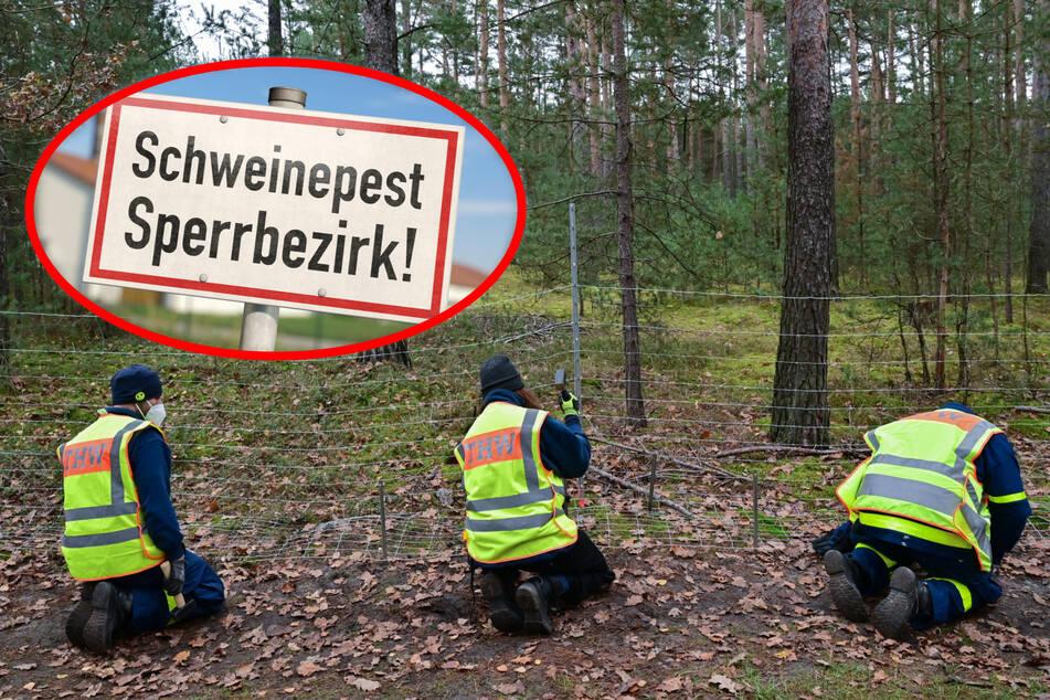 Ein Schutzzaun soll die infizierten Wildschweine in den Sperrbezirken abwehren. THW-Helfer beim Aufbau (Bildmontage).