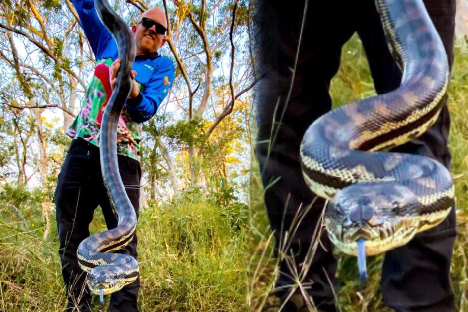 """Reptilienexperte entdeckt riesige Teppichpython: """"Schlangen werden immer größer!"""""""