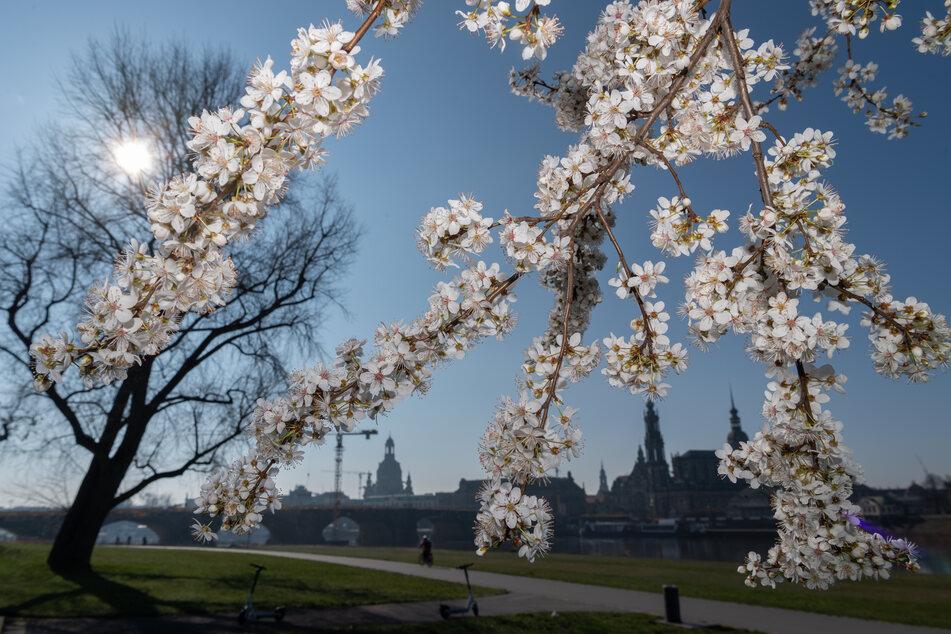 Am Dienstag und Mittwoch zeigt sich der Frühling in Sachsen wieder von seiner besten Seite.