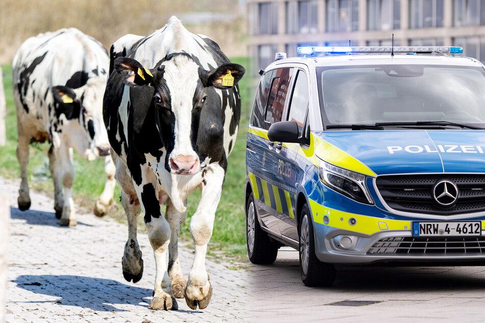 Kühe fliehen von Weide: Eine stirbt, eine andere wird auch nach Stunden vermisst